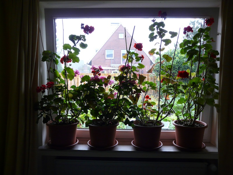 Geraniums in de logeerkamer